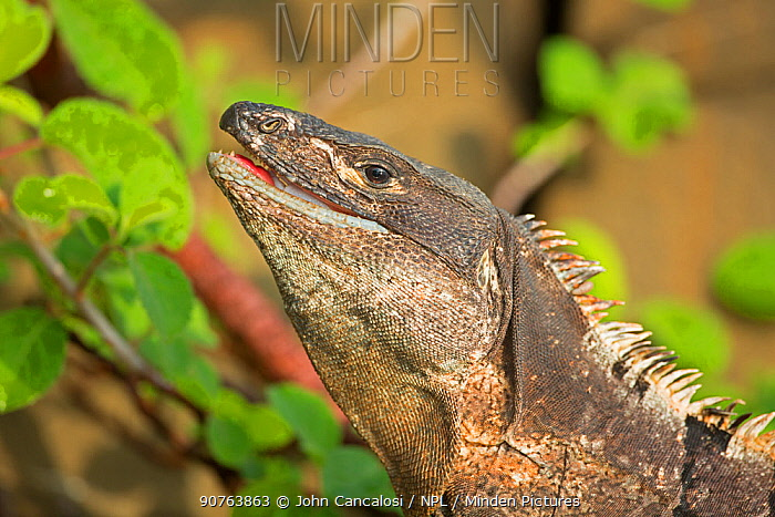 Black tailed spiny iguana ( Ctenosaura similis) swallowing crab, Murcielago Island, Santa Rosa National Park, Costa Rica. Sequence 6 of 6