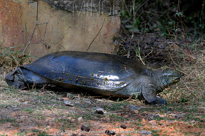 Indian flapshell turtle (Lissemys punctata) out of water, Keolado Ghana National Park, Bharatpur, Rajasthan, India