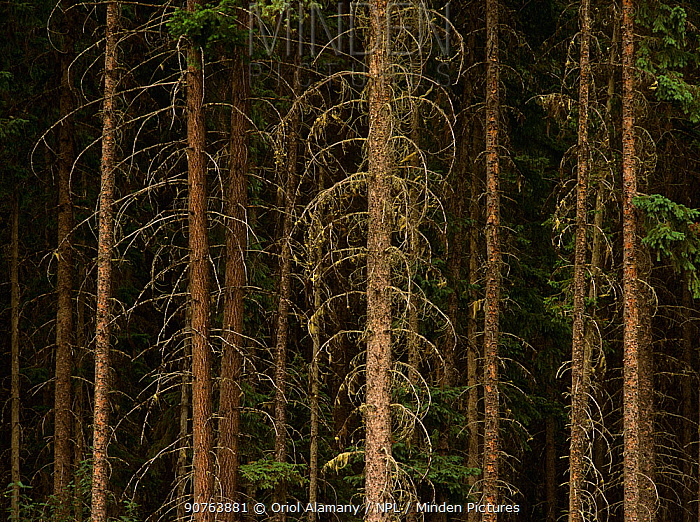Conifer forest tree trunks in Fraser Valley, Mount Robson Provincial Park, Rocky Mountains, British Columbia, Canada