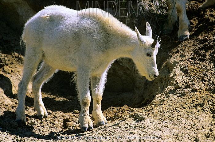 Mountain Goat (Oreamnos americanus) in Banff National Park, Rocky Mountains, Alberta, Canada