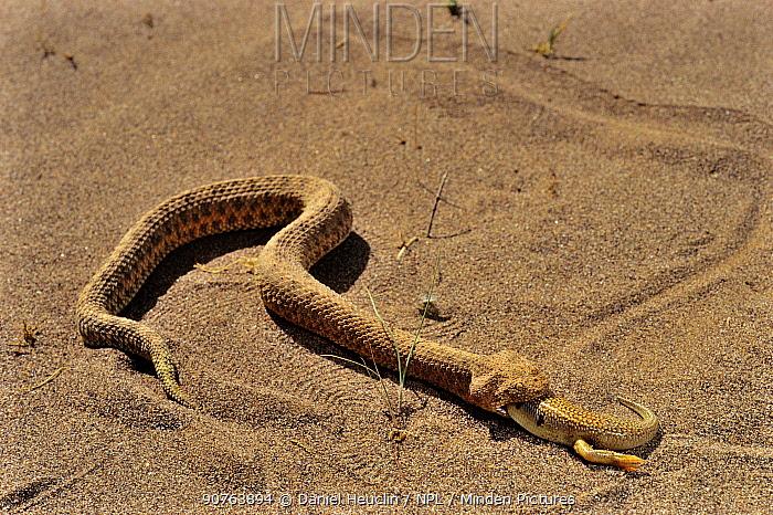 Sand Viper (Cerastes vipera) feeding on  Sandfish  (Scincus albifasciatus) Erg Chigaga, Morocco Controlled conditions