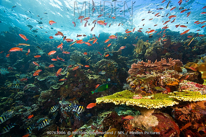 Schooling fish around healthy reef system, Castle Rock, Komodo National Park, Indonesia.