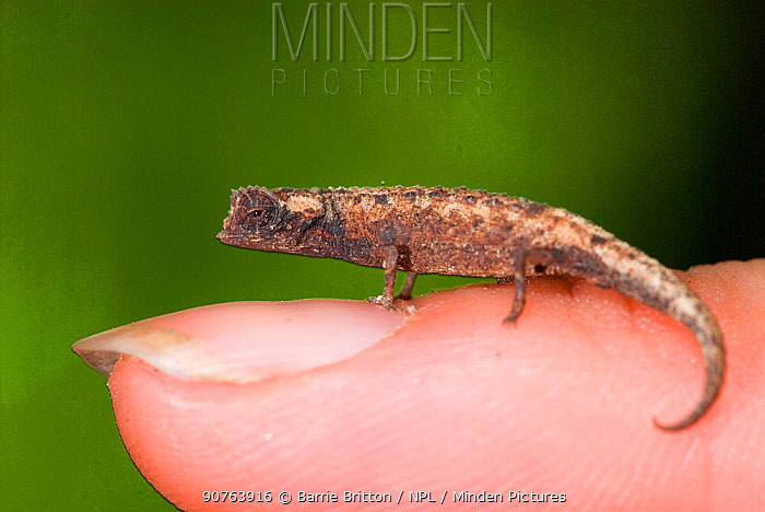 Nosy Be Pygmy Leaf Chameleon (Brookesia minima) male, the world's smallest reptile on finger. Nosy Be, Madagascar. Photograph taken on location for BBC 'Wild Madagascar' Series, January 2010