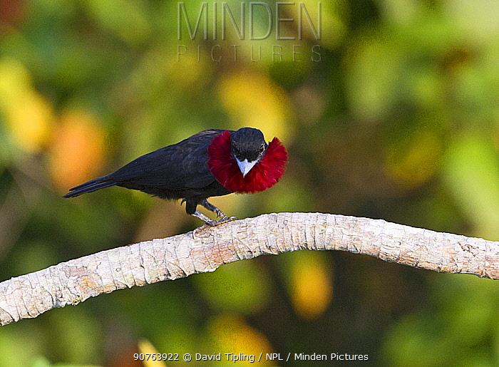 Purple-throated Fruit Crow (Querula purpurata) displaying, Amazon rainforest, Peru