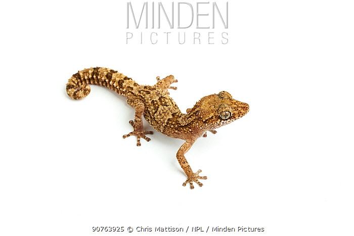Vazimba Gecko (Paroedura vazimba). Madagascar.