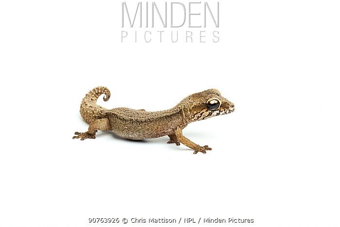 Grandidier's Gecko (Paroedura androyensis). Madagascar.
