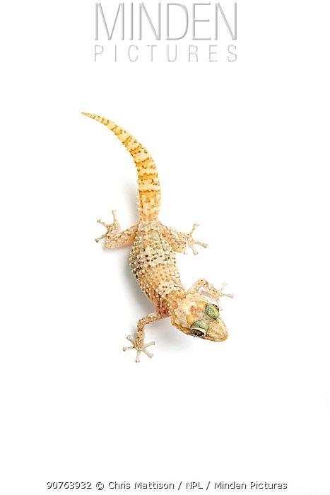 Dwarf form of Mocquard's Madagascan Ground Gecko (Paroedura bastardi) possibly a new undescribed species. Madagascar.