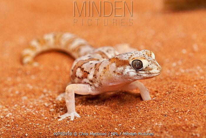 Marico Gecko (Pachydactylus mariquensis latirostris). Springbok, Northern Cape, South Africa.