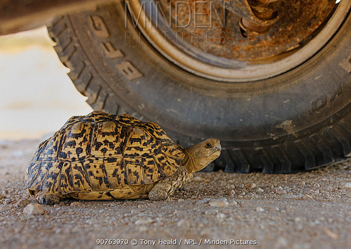 Leopard Tortoise (Geochelone pardalis pardalis) finding shade under a vehicle. Kgalagadi Transfrontier Park, South Africa. January
