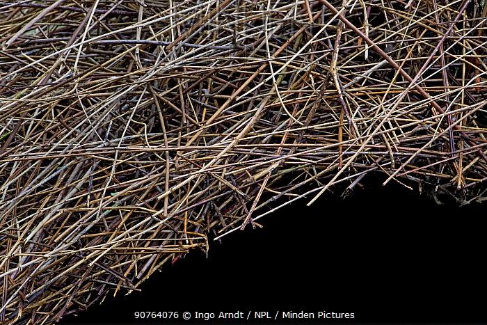 Bower of Vogelkop bowerbird (Amblyornis inornatus) detail of roof built from sticks, Arfak Mountains, West Papua, Indonesia.