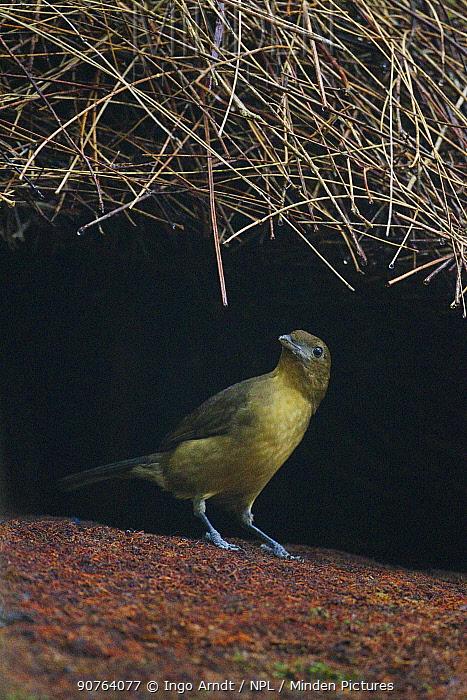 Male Vogelkop bowerbird (Amblyornis inornatus) constructing bower roof. Arfak Mountains, West Papua, Indonesia.
