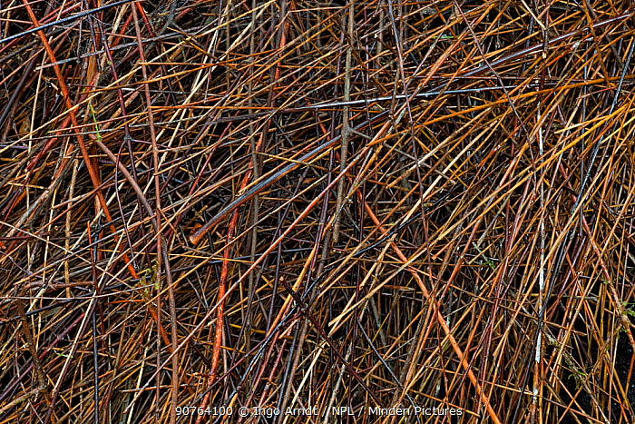 Bower of Vogelkop bowerbird (Amblyornis inornatus) detail of roof of bower built from sticks, Arfak Mountains, West Papua, Indonesia.