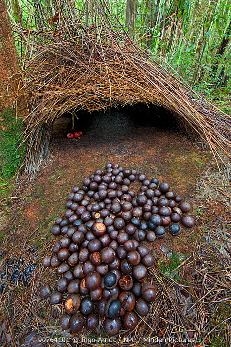 Bower of Vogelkop bowerbird (Amblyornis inornatus) front entrance of bower decorated with red fruit and acorns, Arfak Mountains, West Papua, Indonesia.
