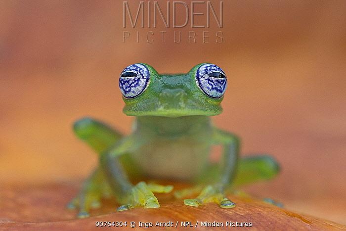 Ghost Glass Frog (Centrolenella ilex) portrait, Costa Rica.