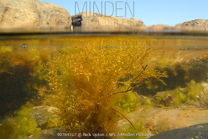 Split level view of Japanese wireweed (Sargassum muticum), an invasive species from the western Pacific spreading in Europe and the UK, buoyed up by air bladders in a rockpool, Kimmeridge, Dorset, UK, July.