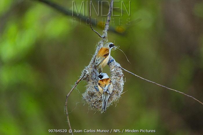 Eurasian penduline tits (Remiz pendulinus) building nest. Shumen, Bulgaria, April.