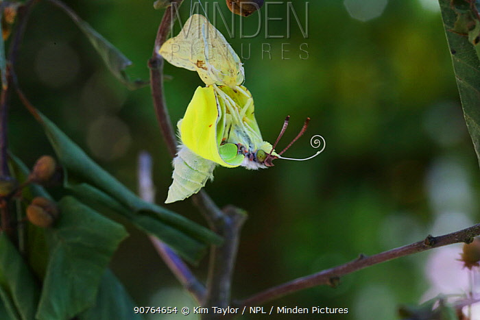 Brimstone butterfly (Gonepteryx rhamni) emerging from pupa, Surrey, England, July. Sequence 5 of 8.