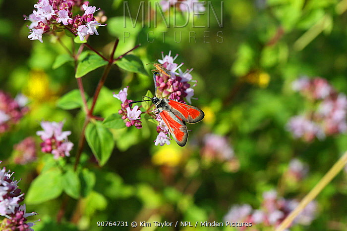 Transparent burnet moth (Zygaena purpuralis) on Marjoram (Origanum vulgare). Bulgaria, July.