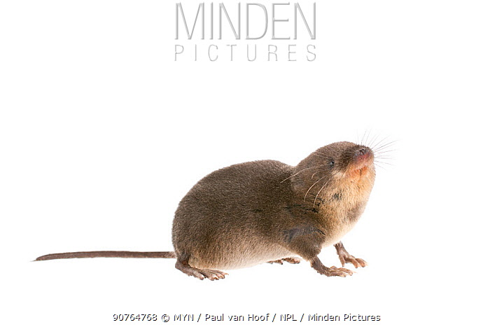 Water shrew (Neomys fodiens) adult, The Netherlands, September. meetyourneighbours.net project
