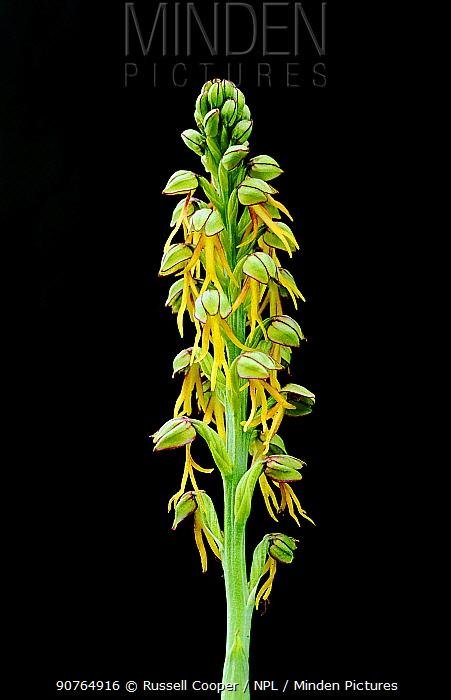 Man orchid (Aceras anthropophorum) Kent, UK.
