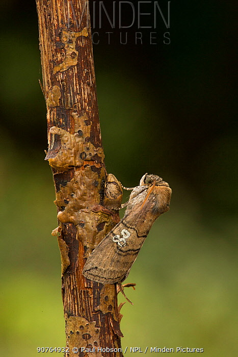 Figure of eighty moth (Tethea ocularis octogesimea) adult , Sheffield, England, UK, July.