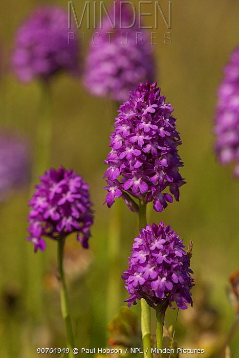Pyramidal orchid (Anacamptis pyramidalis) South Anstons, Sheffield, Yorkshire, England, UK, July.