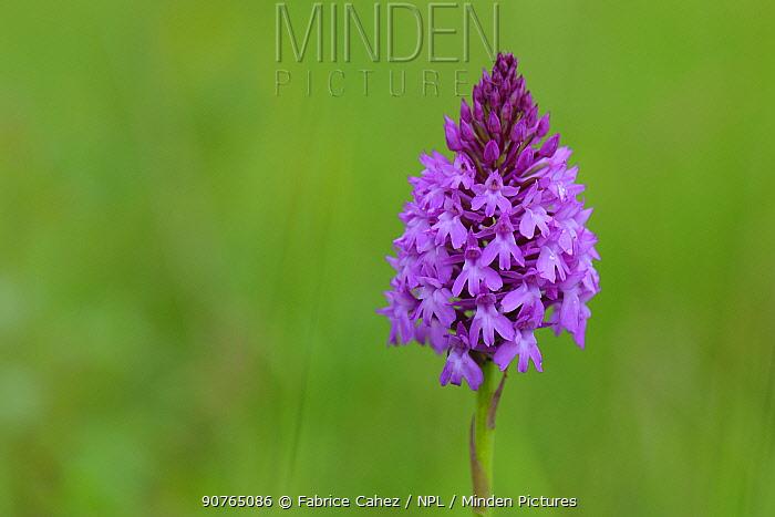 Pyramidal orchid (Anacamptis pyramidalis) in flower, Vosges, France, June.