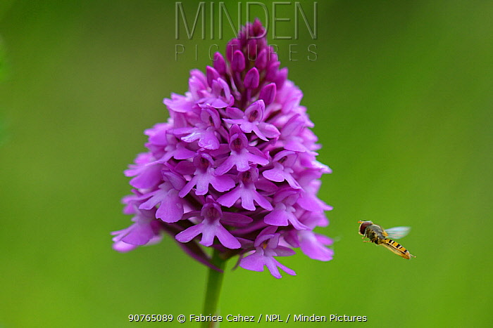Pyramidal orchid (Anacamptis pyramidalis) with hoverfly approaching, Vosges, France, June.