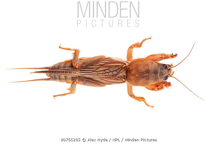 Mole cricket (Gryllotalpidae) showing shovel-like forelimbs that are well adapted to burrowing. Danum Valley, Sabah, Borneo.