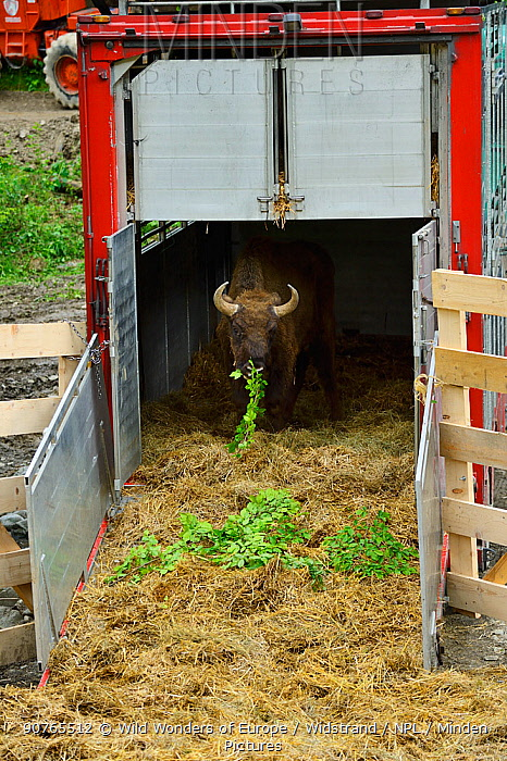 Release of European bison / Wisent (Bison bonasus) into the Tarcu mountains nature reserve, Natura 2000 area, Southern Carpathians, Romania. May 2014.