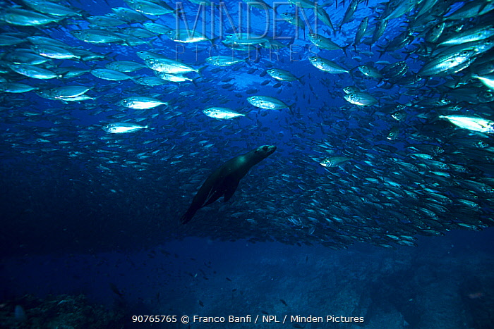 California Sea Lion (Zalophus californianus) hunting fish, Sea of Cortez, Baja California peninsula, Mexico, East Pacific Ocean.