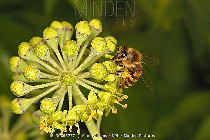 Honey bee (Apis mellifera) feeding on Ivy (Hedera helix) flower. Cheshire, UK, September.