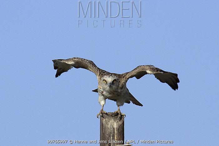 Short toed snake eagle (Circaetus gallicus) taking off, Oman, April
