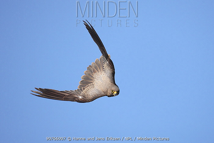 Sooty falcon (Falco concolor) adult in flight, diving, Oman, August