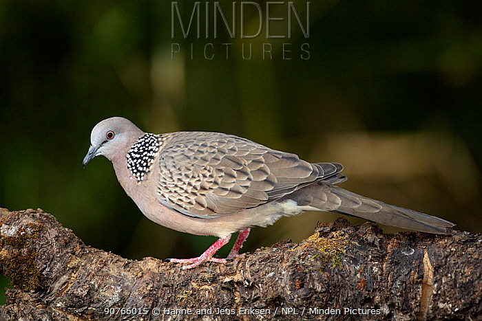 Spotted dove (Spilopelia chinensis) on branch, Thailand, February