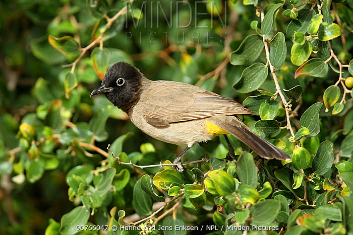 White spectacled bulbul (Pycnonotus xanthopygos) perched, Oman, January