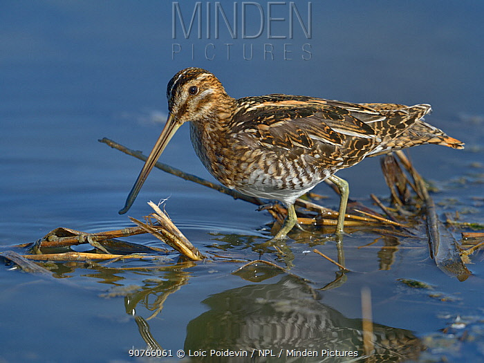 Common snipe (Gallinago gallinago) foraging in water.  Le Teich, Gironde, French, September