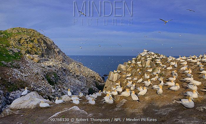 Northern gannet (Morus bassanus) colony, Great Saltee Islands, County Wexford, Republic of Ireland. May.