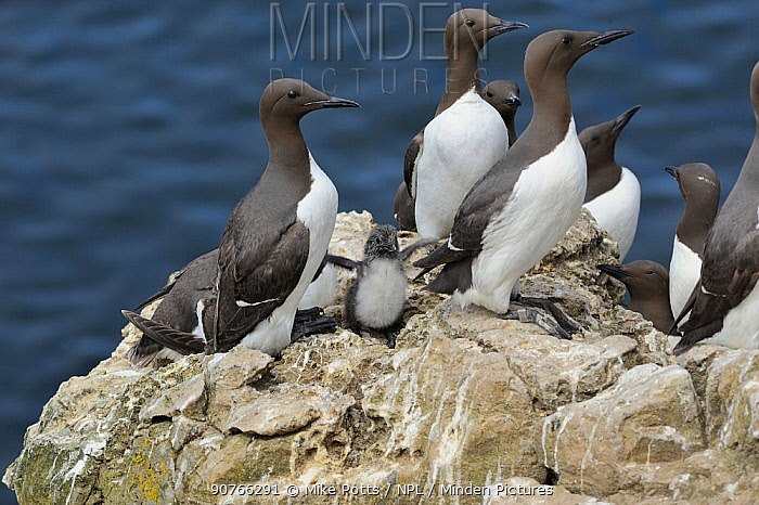 Guillemots (Uria aalge) group with chicks on cliffs, Puffin Island,  Anglesey, Wales, UK, June.