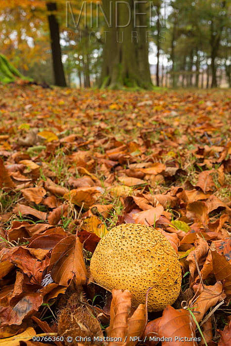 Common earthball (Scleroderma citrinum) Peak District, Derbyshire, UK, October.