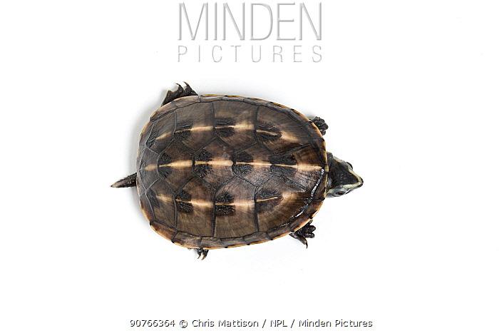 Three-striped mud turtle (Kinosternon baurii) sub-adult. Captive, endemic to United States.