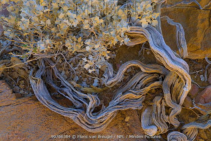 Desert Holly (Atriplex hymenelytra) Death Valley National Park, California, USA, November.