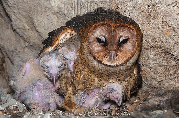 Barn owl (Tyto alba punctatissima) on nest with chicks in cave beneath building site. Santa Cruz Island, Galapagos, Ecuador.