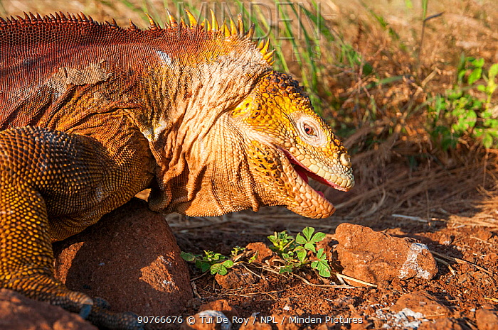 Galapagos land iguana (Conolophus subcristatus) portrait, Galapagos