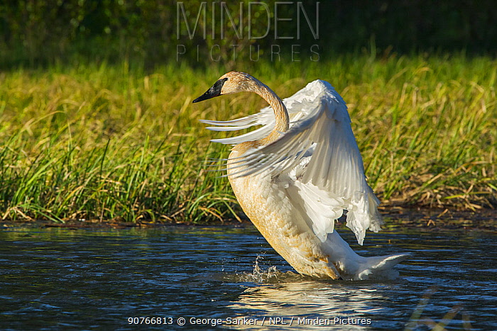 Trumpeter Swan (Cygnus buccinator) flapping wings, Grand Teton National Park, Wyoming, USA, May