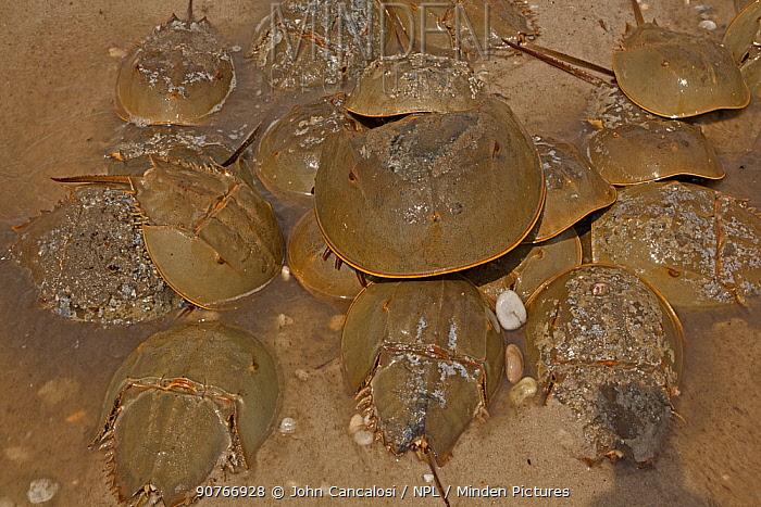 Horseshoe crabs (Limulus polyphemus) ashore to breed, clustering around egg laying female during spawning, Delaware bay, Delaware, USA.  June.