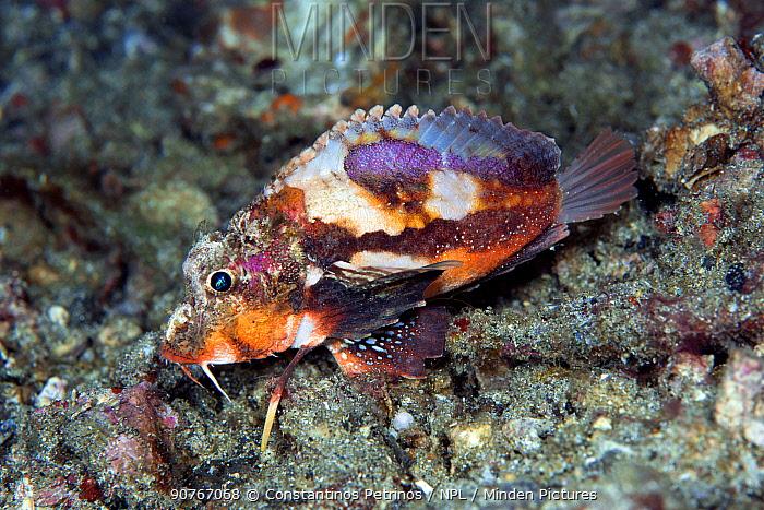 Painted stinger (Minous pictus) Lembeh Strait, North Sulawesi, Indonesia.