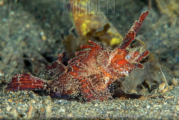 Ambon scorpionfish (Pteroidichthys amboinensis) Lembeh Strait, North Sulawesi, Indonesia.