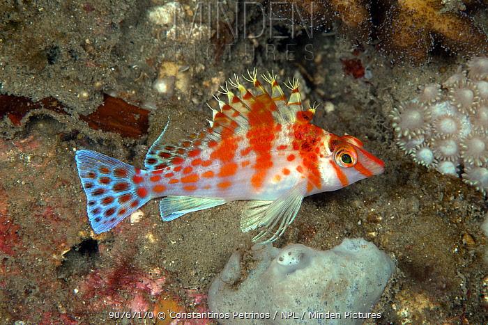 Falco hawkfish (Cirrhitichthys falco) Lembeh Strait, North Sulawesi, Indonesia.