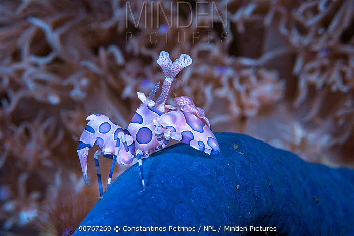 Harlequin shrimp (Hymenocera elegans) with its prey Blue Starfish (Linckia laevigata) Lembeh Strait, North Sulawesi, Indonesia.